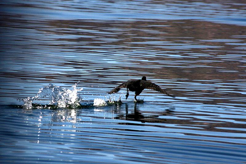 titicaca-pato